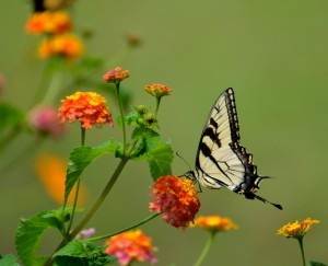 butterfly on colorful flower, Outdoor living space, outdoor living spaces, outdoor entertainment areas, outdoor wooden structures, outdoor timber frame structures, timber frame pavilions, timber frame pergolas, timber frame gazebos, wooden pavilion, wooden gazebo, wooden pergola, Timberhaven Log Homes, Timberhaven Log & Timber Homes
